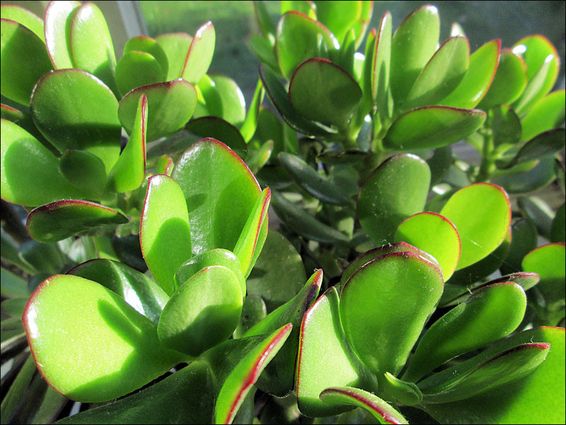 Plants that are perfect for coffee tables // The Jade Plant (or money tree), will bloom small pink or white flowers if given enough heat, light, and is fertilized properly.