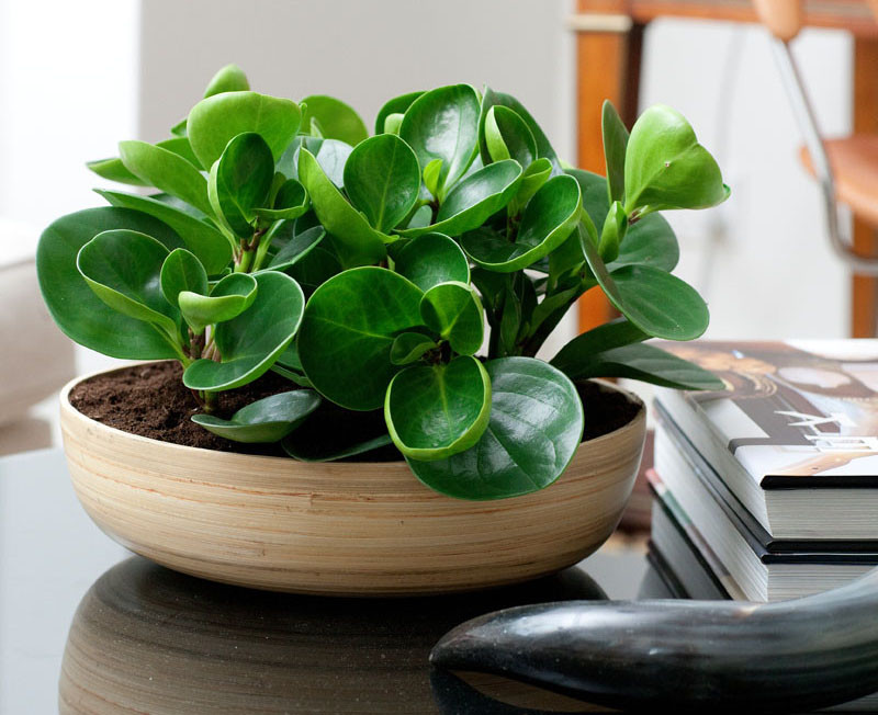 Plants that are perfect for coffee tables // The Baby Rubber plant emits a high oxygen content, and kills bacterial and mold spores that land on the leaves, making it good for those who suffer from asthma.