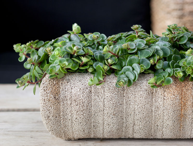 Plants that are perfect for coffee tables // The Stonecrop is a hardy plant that's drought tolerant and require little care. They're part of the succulent family, with leaves that are thick, semi-glossy and have the form of a rosette.