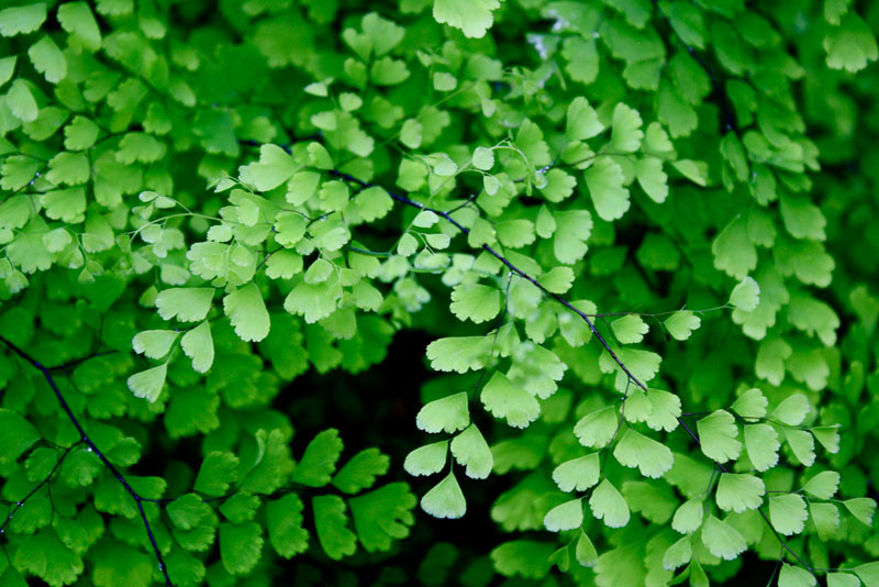 Plants that are perfect for coffee tables // The Maidenhair Fern thrives in a brightly-lit indoor environment (but not direct sun as it can burn the leaves).