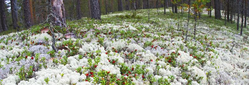 Natural Dried Reindeer Moss By Polarmoss