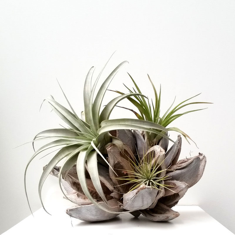 6 creative ideas for displaying air plants in your home contemporist. Black Bedroom Furniture Sets. Home Design Ideas