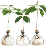 These Glass Vases Allow You To Watch Avocado And Oak Trees Grow From Seeds