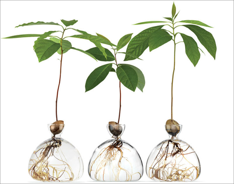 Home Decor Idea - London based design firm Ilex Studio, has created a pair of modern glass vases that allows you to watch an Avocado plant or an Oak Tree grow from a single seed. #HomeDecorIdea #GlassVase #ModernVase #Plants #Gardening